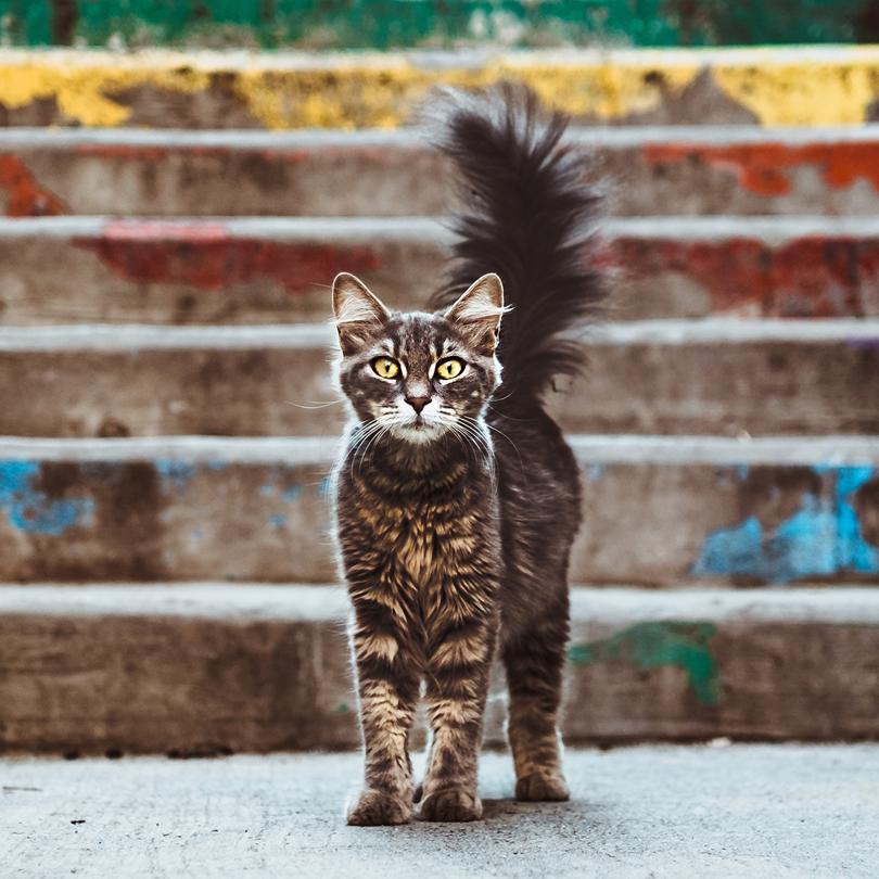 Ailuros Cat